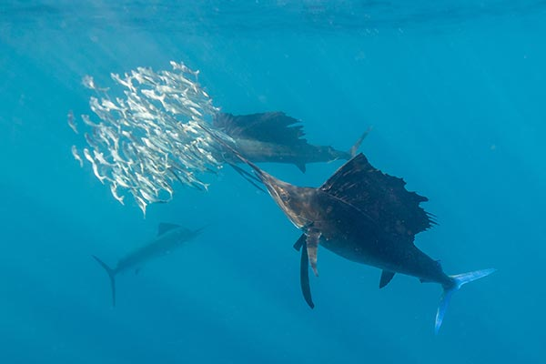 sailfish florida 06