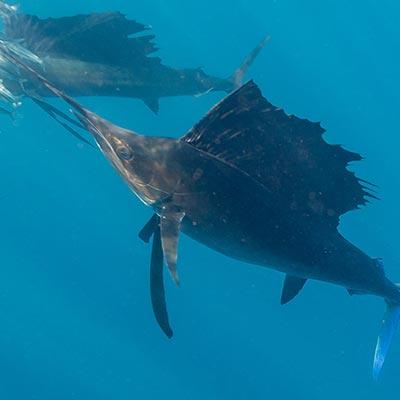 sailfish icono 01